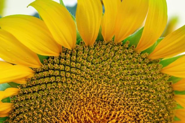 Girassol florescendo, close-up detalhe macro da textura das pétalas. segmento de botão da flor.