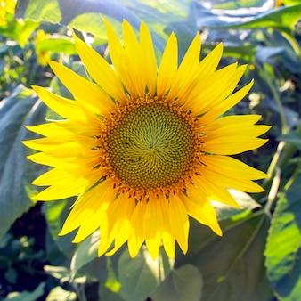 Girassol florescendo, close-up