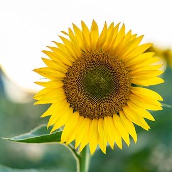 Girassol florescendo no campo. conceito de ecologia, agricultura orgânica, jardinagem e natureza.