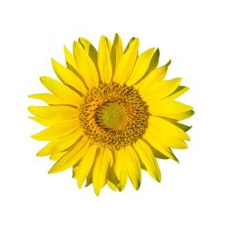 Girassol fresco amarelo