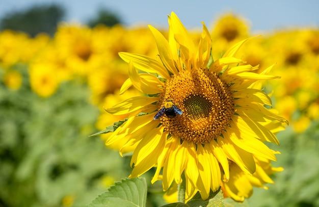 Girassol fresco com a abelhinha no parque floral perto da fazenda de flores.