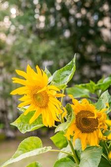 Girassol fundo natural girassol florescendo closeup de girassol