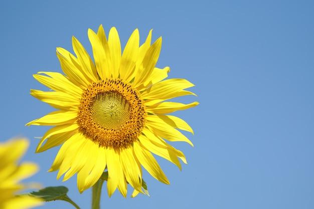 Girassol grande e perfeito parece muito bonito em um dia de céu brilhante.
