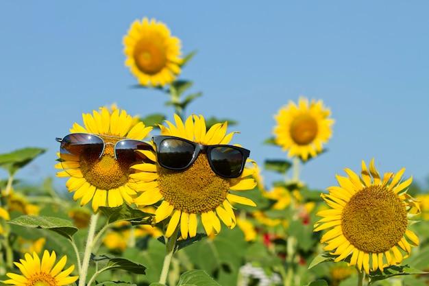 Girassol, (helianthus, annuus), com, óculos, em, a, fazenda, ligado, céu azul