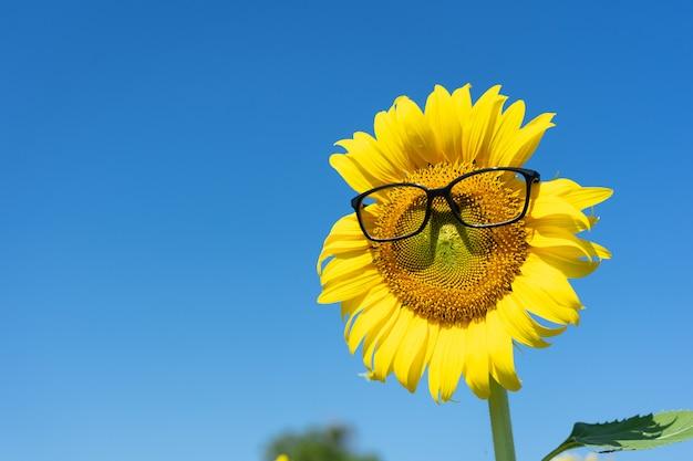 Girassol (helianthus annuus) vestindo óculos olho negro. flor de girassol