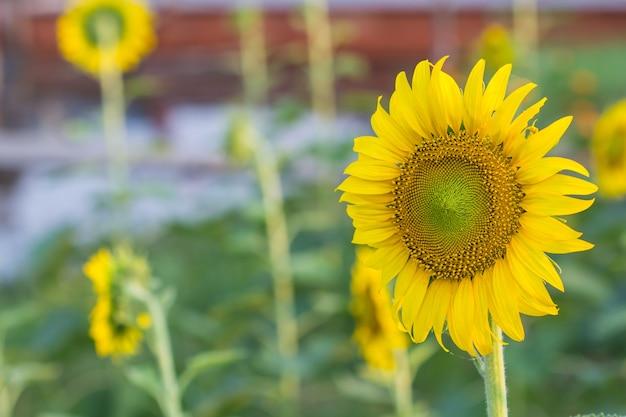 Girassol lindo com amarelo de sol e no jardim.