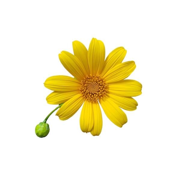 Girassol mexicano ou tithonia diversifolia com folha isolada