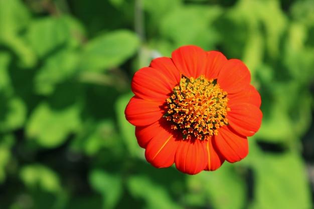 Girassol mexicano vermelho closeup