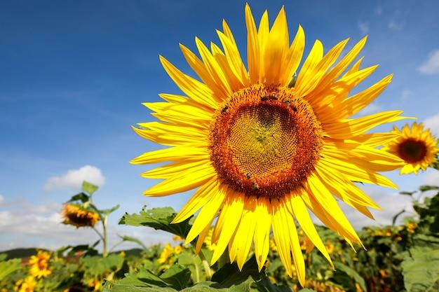 Girassol natural do close-up que floresce com luz solar e fundo do céu azul