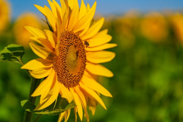 Girassol sobre campo desfocado com flores de flor amarela. luz do sol forte. campo de girassol. foco seletivo