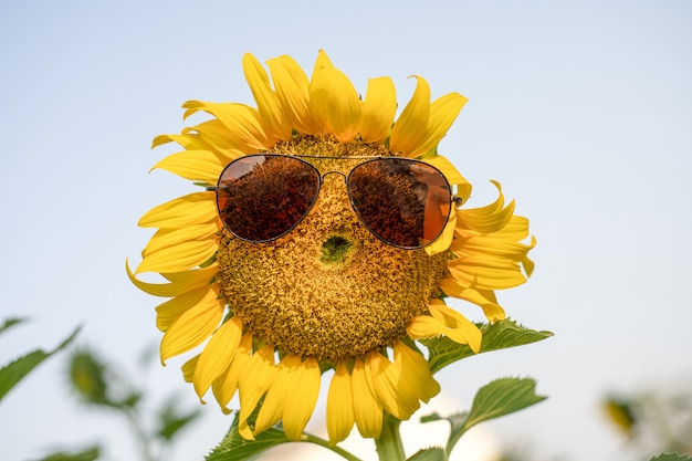 Girassol sorriso, vidro no girassol gigante no campo