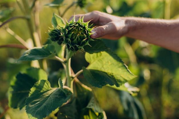 Girassol tocante da mão masculina do close up em um campo. conceito agro