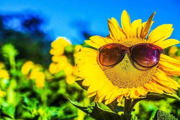 Girassol usando óculos escuros em campo, céu azul nublado e luzes fortes do sol
