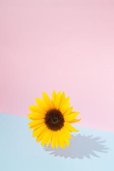 Girassol voando em uma combinação de fundo azul e rosa. conceito floral primavera verão. bela flor natural.