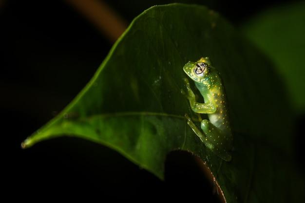 Glassfrog em uma folha