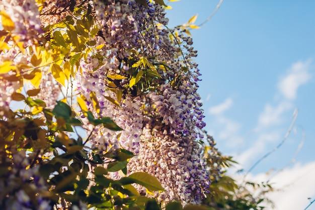 Glicínias flores florescendo no jardim primavera. videiras de glicínias bush pendurado cerca. flor violeta do sol
