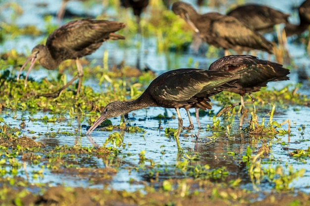 Glossy ibis (plegadis falcinellus) com uma única perna em um campo de arroz no parque natural albufera de valencia, valência, espanha.