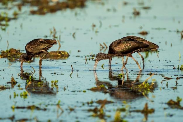 Glossy ibis (plegadis falcinellus) em um campo de arroz no parque natural albufera de valência, valência, espanha.