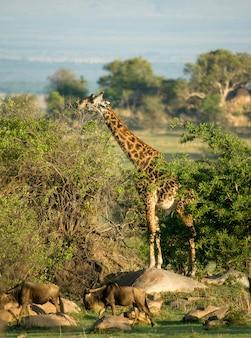 Gnus e girafa no serengeti, tanzânia, áfrica