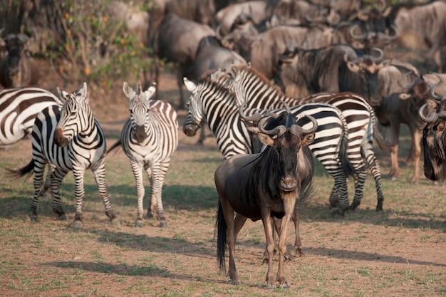 Gnus e zebras no quênia