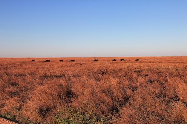 Gnus em safári no quênia e na tanzânia, áfrica