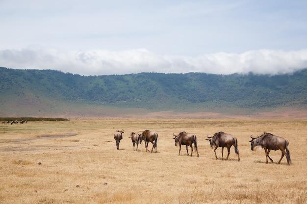 Gnus em uma linha na cratera da área de conservação de ngorongoro, na tanzânia