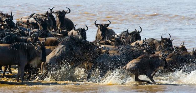 Gnus estão cruzando o rio mara