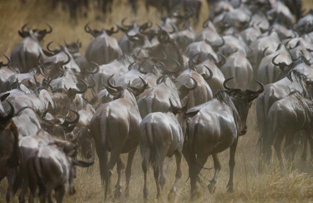 Gnus estão se seguindo na savana