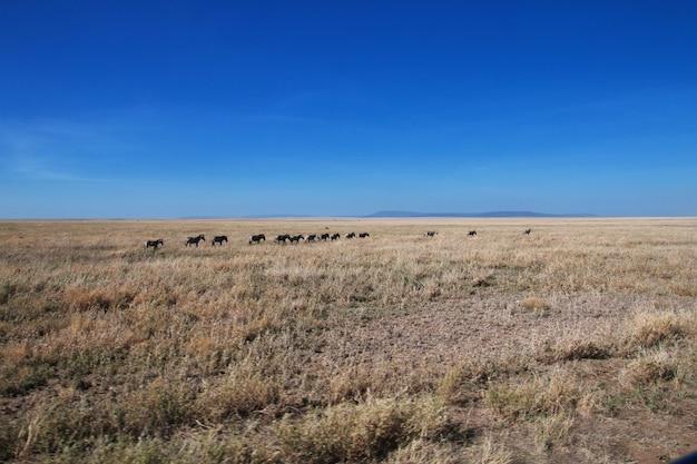 Gnus no safari no quênia e na tanzânia, áfrica