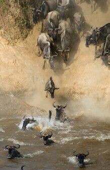 Gnus pulando no rio mara