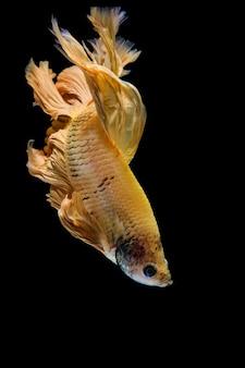 Gold betta fish, peixe-lutador-siamês