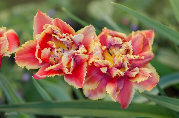 Golddust sensual. tulipa de pétala dupla laranja