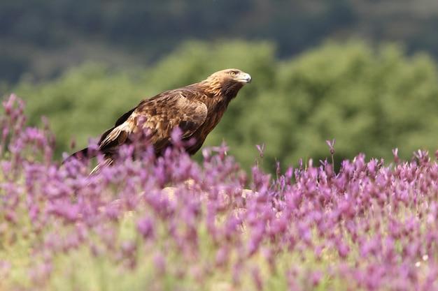 Golden eagle fêmea entre flores roxas com a primeira luz da manhã