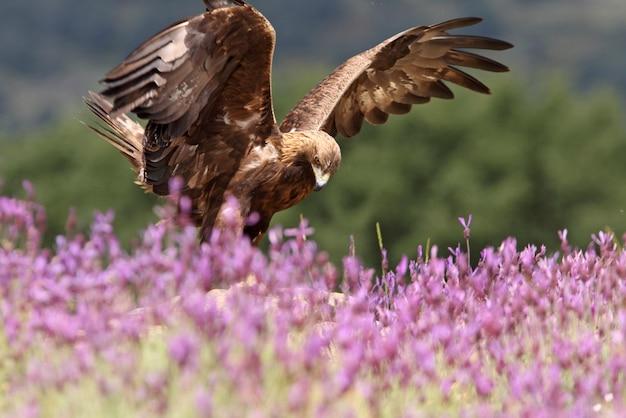 Golden eagle macho entre flores roxas com a primeira luz da manhã