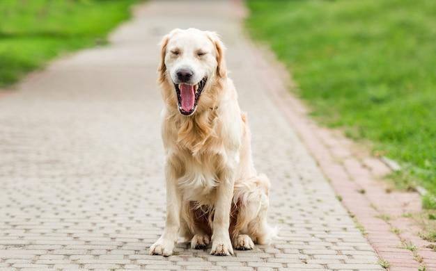 Golden retriever bocejando sentado no beco pavimentado do parque