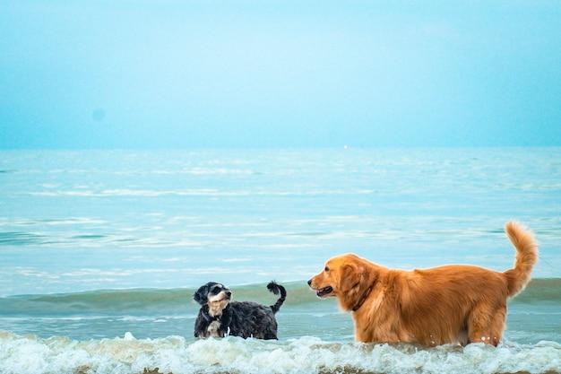 Golden retriever cão relaxante, brincando no mar para a aposentadoria ou férias de animais de estimação aposentados.