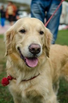 Golden retriever de raça de cachorro lindo para um passeio com uma coleira no parque na primavera.