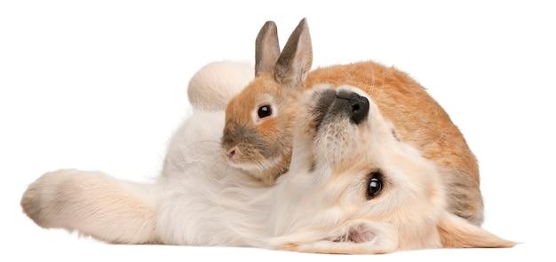 Golden retriever filhote (20 semanas) e um coelho