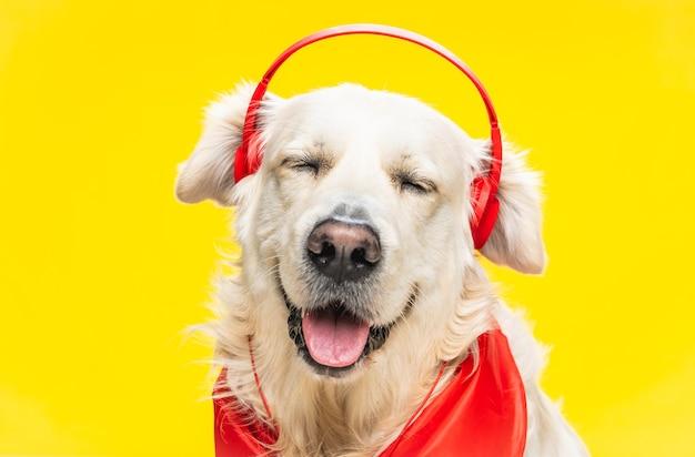 Golden retriever fofo e feliz em fones de ouvido e lenço vermelho isolado em amarelo