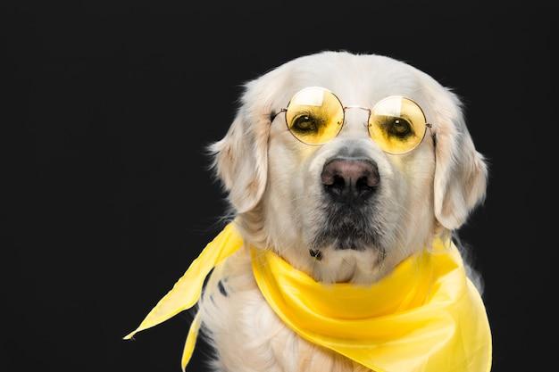 Golden retriever fofo em óculos escuros e um lenço isolado em uma cena preta