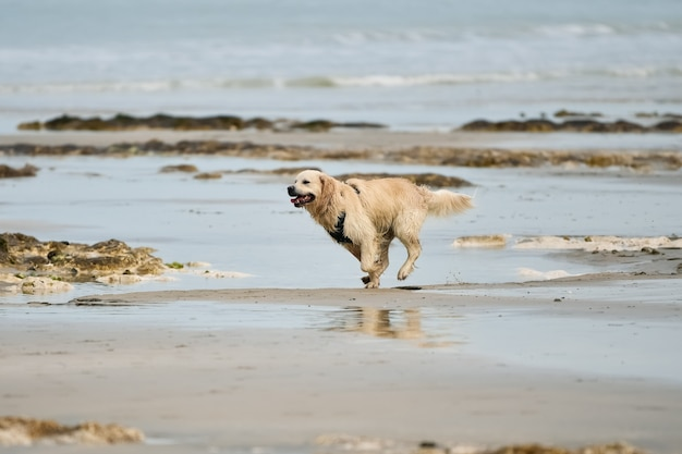 Golden retriever molhado na praia