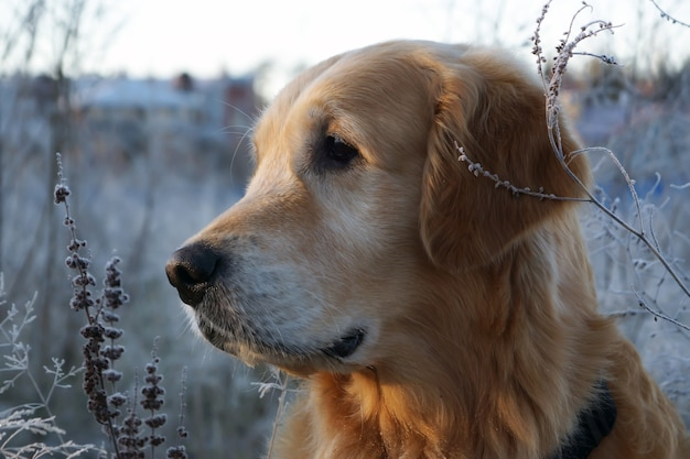 Golden retriever olha para o lado, com a cabeça virada de perfil