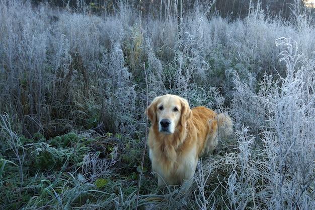 Golden retriever parado no meio dos arbustos congelados