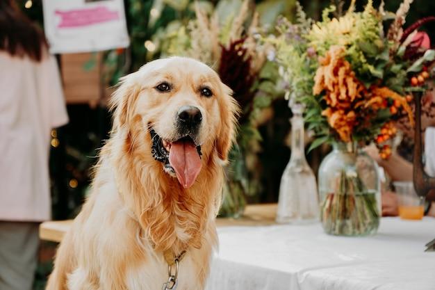 Golden retriever. retrato de um animal de estimação no festival de animais de estimação da cidade. dia ensolarado de verão