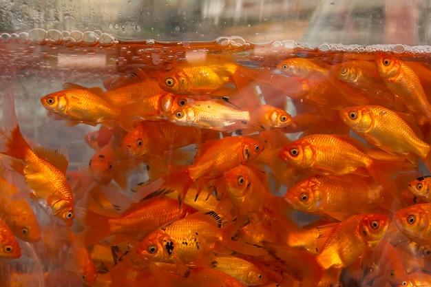Goldfishes na água no aquário