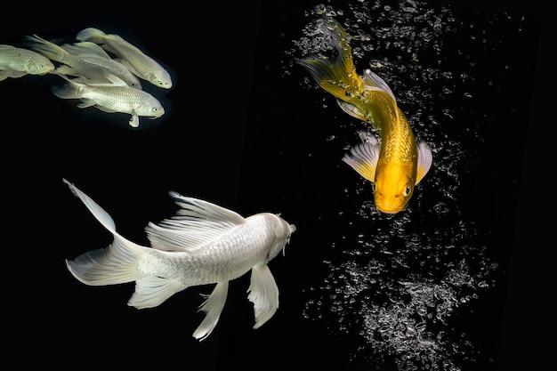 Golen e platina koi peixes olhando cara a cara em fundo preto