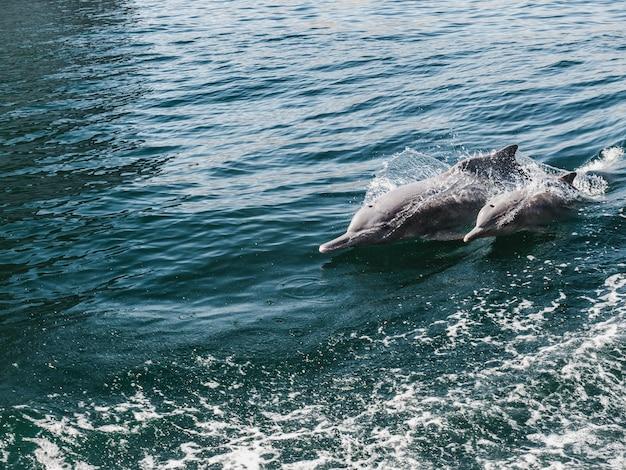 Golfinhos nadando nas ondas do mar. fiordes de omã
