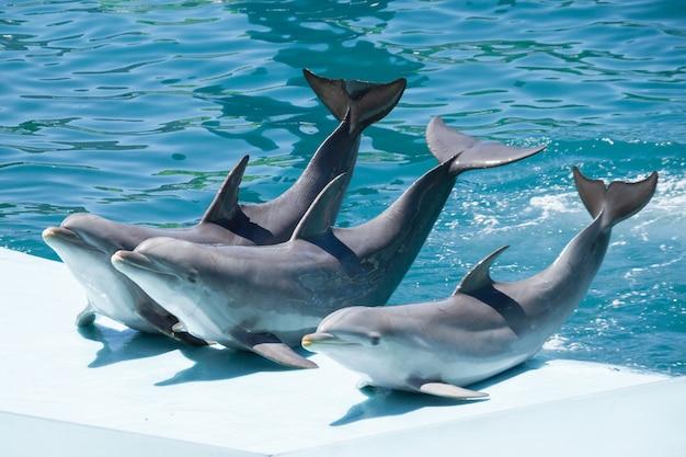Golfinhos-nariz-de-garrafa em um aquário acenando depois de fazer o show.