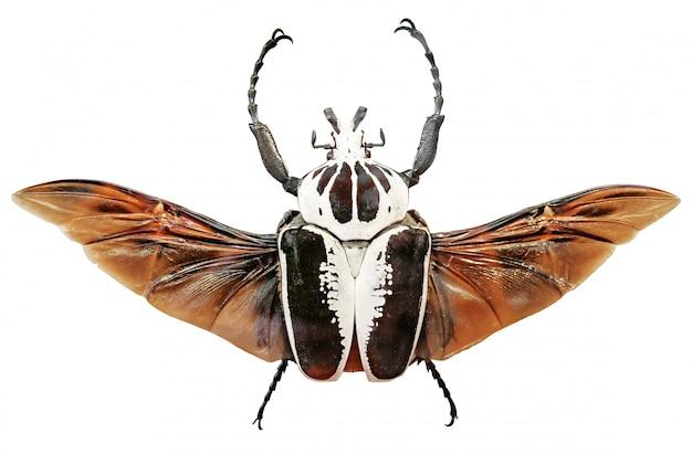 Goliathus regius, o besouro real de golias. besouros de golias isolados