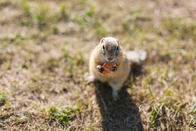 Gopher come biscoitos em um campo de grama de perto